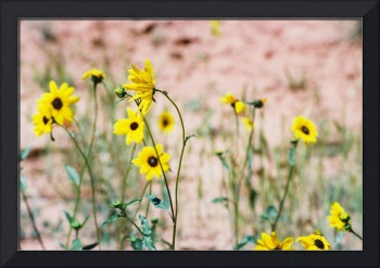 Black Eyed Susans with Ant