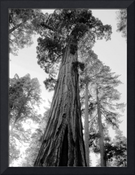 Tall Trees in Black and White