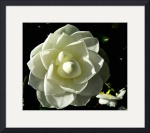 Yellow Camellia by Jacque Alameddine