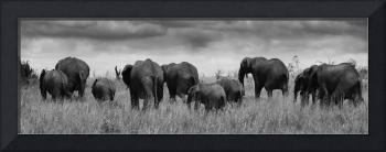 Herd of elephants BW