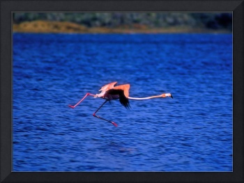 Flamingo Walking On Air