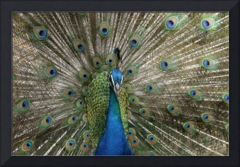 Indian Blue Peacock Exotic Birds