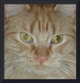 Orange Tabby Cat Closeup