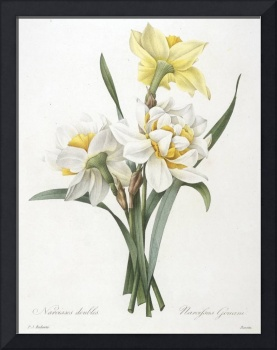 Narcissus gouani (Double Daffodil)