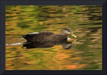 Autumn Duck Reflection