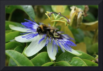 Flowers and Bees-Passion and Bumble Bee 1