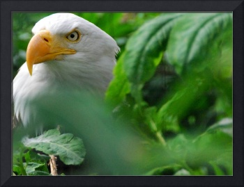 Adonis the Bald Eagle II