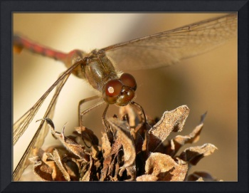 Autumn Meadowhawk Closeup