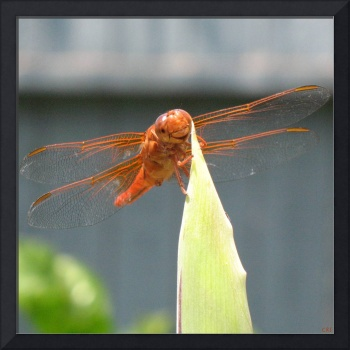 Adorable - Dragonfly