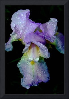 10x12 rtptik as 300dpi blue Iris in rain 46