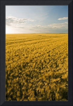 Field Of Maturing Barley Stretches To The Horizon,
