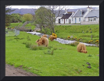 Highland coo's in Durnie , West coast of Scotland