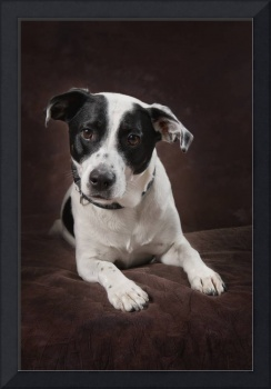 Jack Russell Terrier On A Brown Studio Background