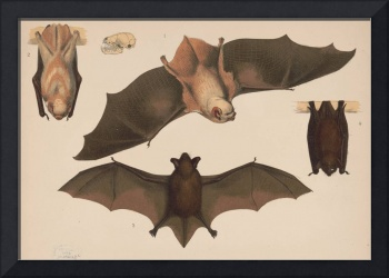 Vintage Flying Bat Illustration (1874)