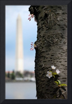 Washington Monument First Bloom