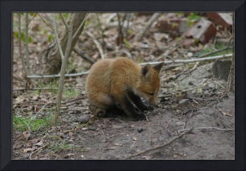 Red Fox Kit Sitting On A bone