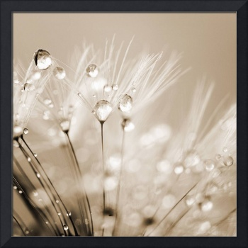 Dandelion Seed with Water Droplets in Sepia