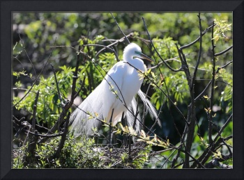 Pretty Proud Egret