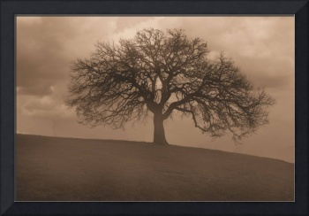 Oak Tree in Morning Fog