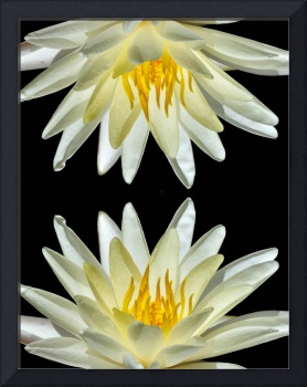 White Water Lily On North South Axis