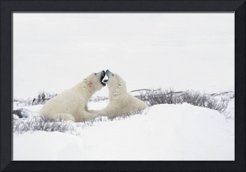 Two Polar Bears In A Humorous Looking Moment With