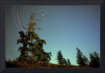 Star Trails, North Star And Old Douglas Fir Tree,