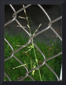 Plant in Chain-Link Fence