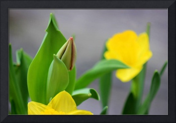 Tulip Bud with Daffodils