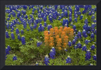 Texas Hill Country Wildflowers 665