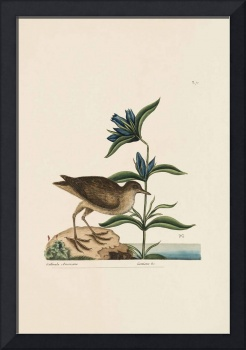 Mark Catesby~The Soree, The Natural History of Car