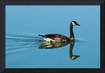 Swimming Goose on a Calm Lake