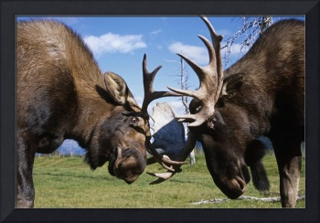 Two Bull Moose Sparring At The Alaska Wildlife Con