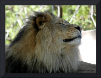 Lion in the Breeze