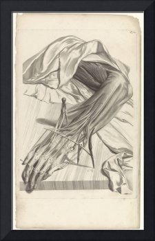 Anatomical study of the muscles and tendons of the