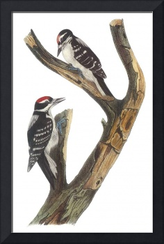 Hairy Woodpecker Bird Audubon Print