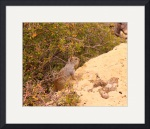 Kaibab Squirrel IMG_1368 by Jacque Alameddine