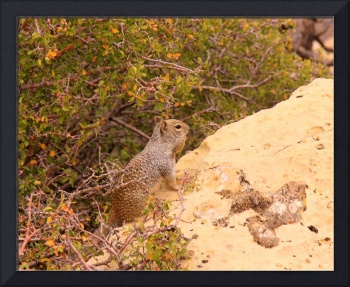 Kaibab Squirrel IMG_1368