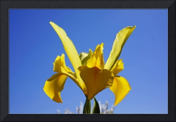 Iris Flowers Yellow Floral Photography Art Prints
