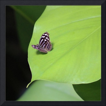 Banded Purplewing Butterfly Square