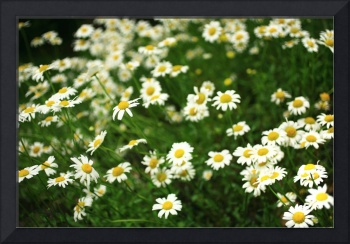 Field of Happy Daisies