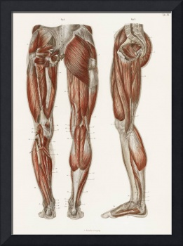 An antique illustration of the muscles of the legs
