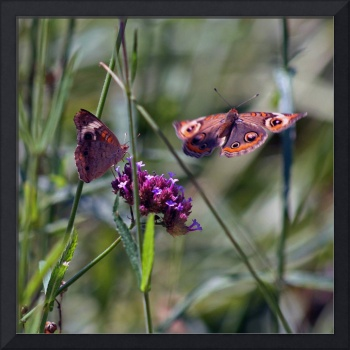 Butterflies Two Buckeyes in Flight