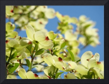 Dogwood Flowers White Dogwood Tree 18 Blue Sky Art
