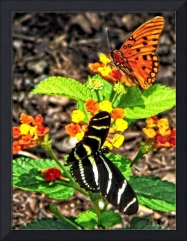Monarch Butterfly and Zebra Butterfly
