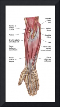 Anatomy of forearm muscles, anterior view, middle