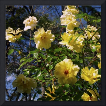 My Yellow Roses Are Putting on a Show