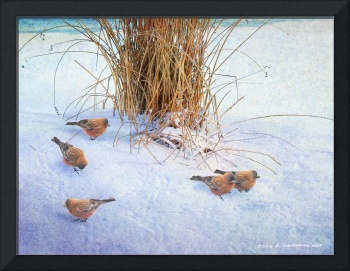 winter brown-capped rosy finches