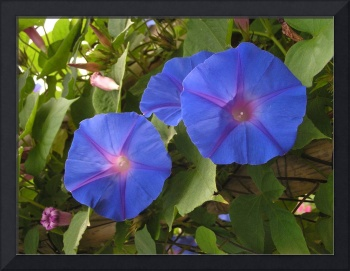 Three Morning Glories