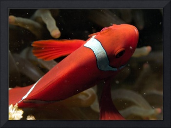 Red Clownfish, Red Eyes