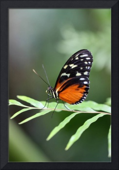 Hecale Longwing Butterfly Vertical